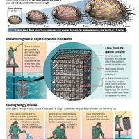 Farming abalone