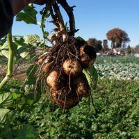 ジャガイモ収穫 20141115