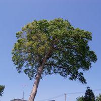 春・園を見守る大欅