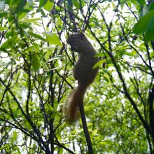 Juvenile North American red squirrel near camp