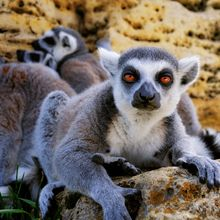 Ring-tail Lemur