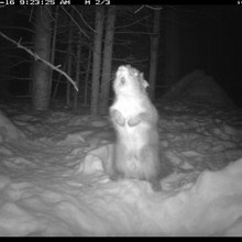 Trap camera photo of a squirrel rattling in defense
