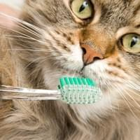 A FEMALE CAT WITH A TOOTHBRUSH