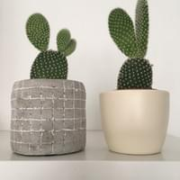 MINI BUNNY EAR CACTI