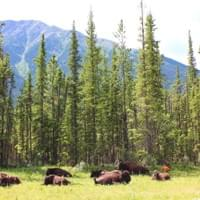 Bison along Alaska Highway. 2018.