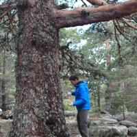 Sampling Pinus sylvestris in Urbión (Soria)