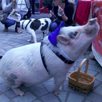 Pee Wee the Pig at WCL!