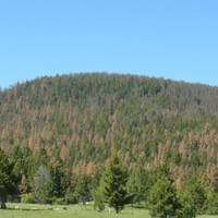 A mountain pine beetle epidemic left >80% of large ponderosa pines dead in central Montana.