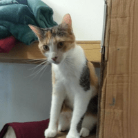 SHEA - female calico adult adopted 11/22/17
