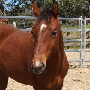 Buddy - Gelding For Sale $6000 DOB 11.12.2016