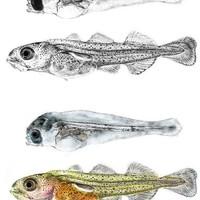 Larval Cod