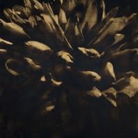deposition-Chrysanthemum