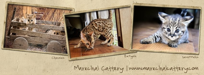 Bengal, Chausie and Savannah Cats for Sale