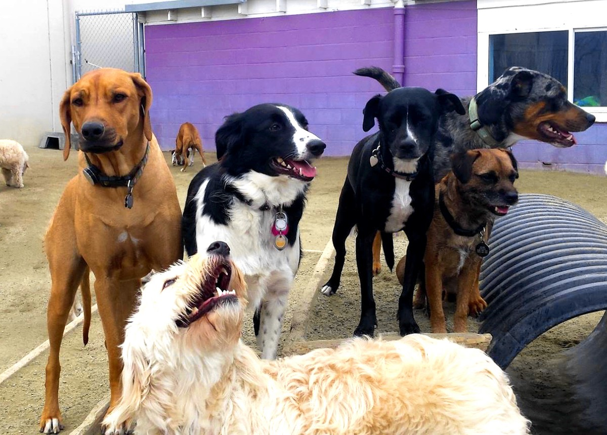 Happy dogs at Planet Pooch dog daycare