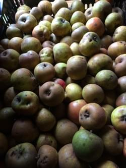 wild russeted apples