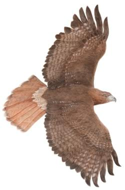 Red tailed Hawk for Museum Display