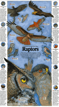 Creatures of the East Bay: RAPTORS
