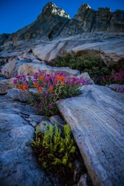 Rock Loving Wild Flowers above Pear Lake