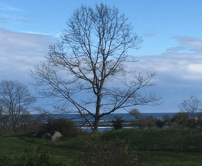 My special tree in Kittery Point