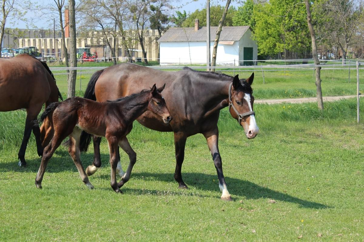 Horse Christi with her foal.