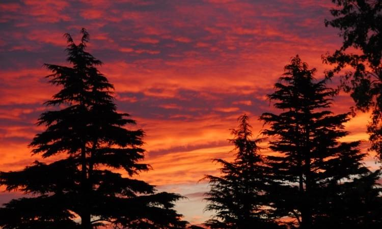 Sunrise on Cedrus deodara