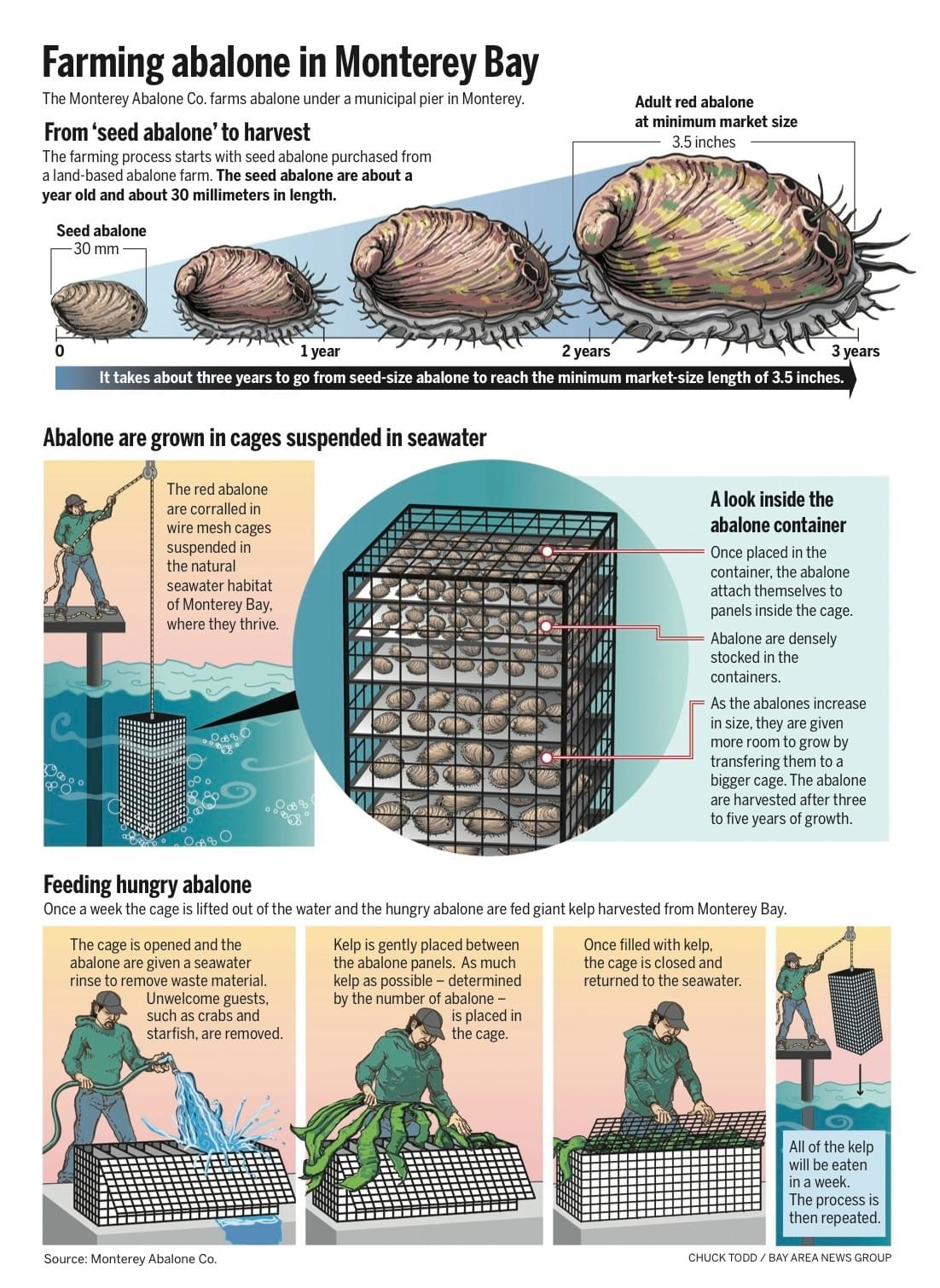 Infographic by Chuck Todd for Bay Area News Group explaining how Red Abalone are farming and harvested.