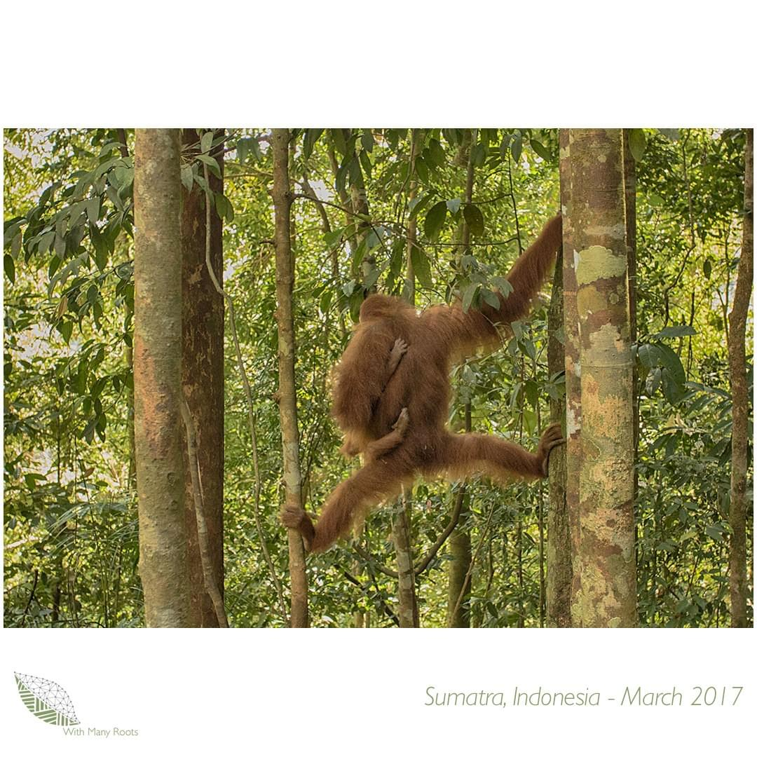 Image of Orangutan Mother and baby in Sumatra, Indonesia - by With Many Roots