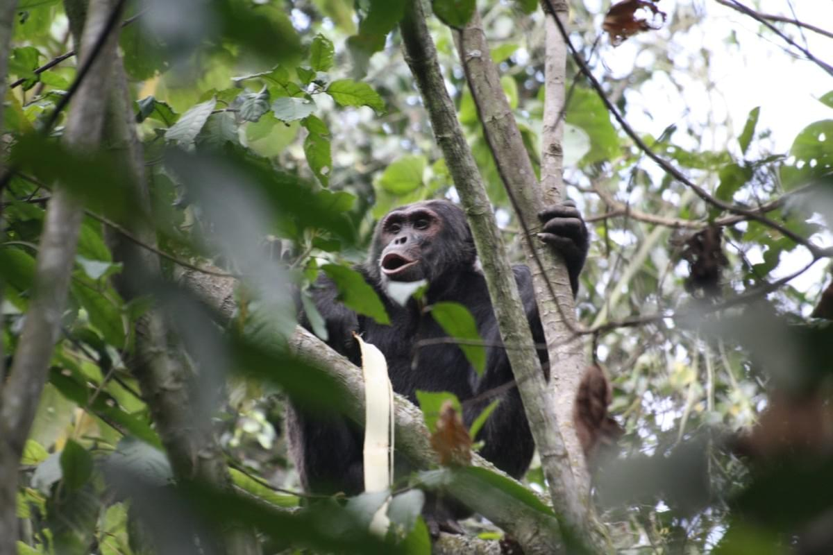 Chimpanzees at the edge of Gishwati Forest immediately before raiding the forest.