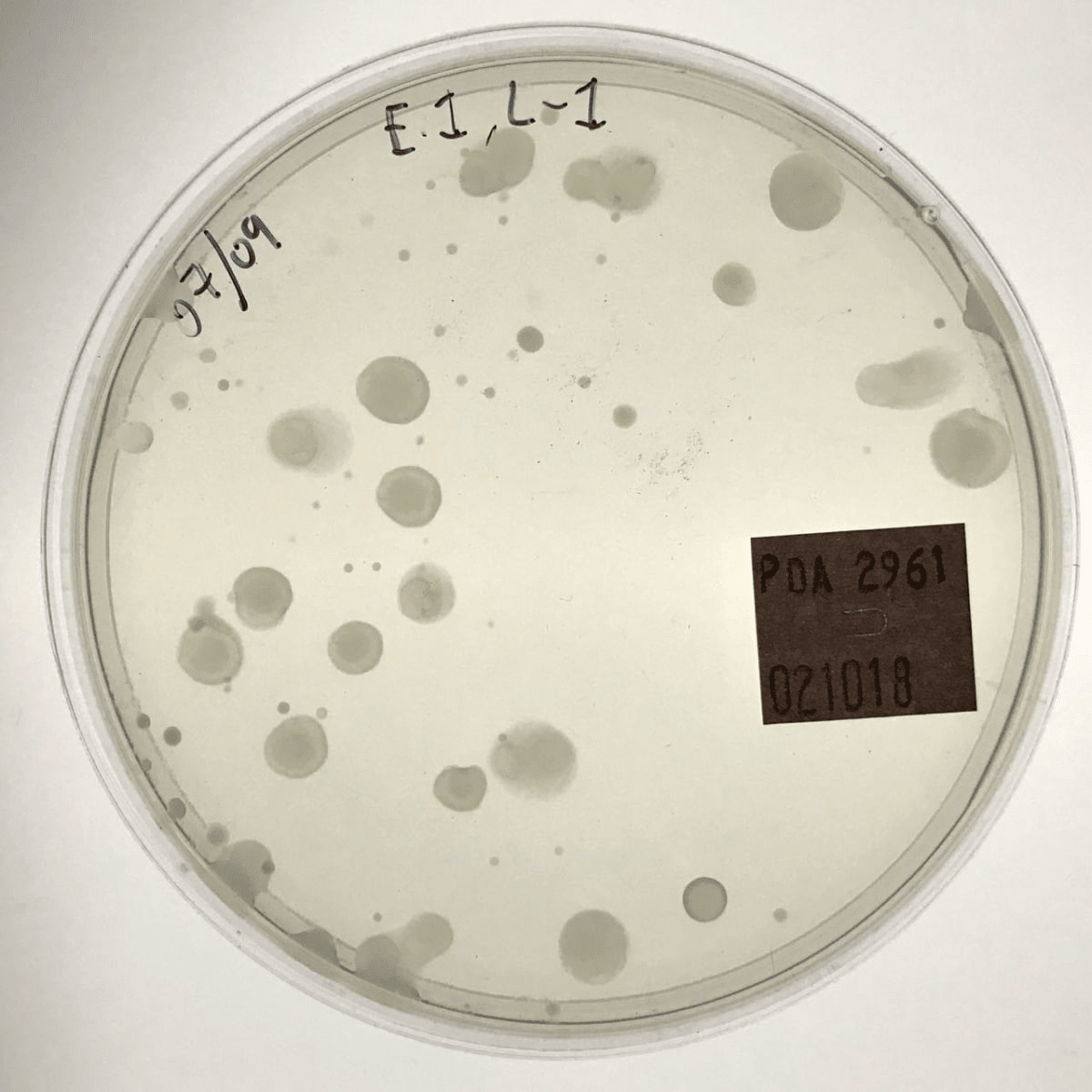 Candida albicans growing on the surface of a petri plate