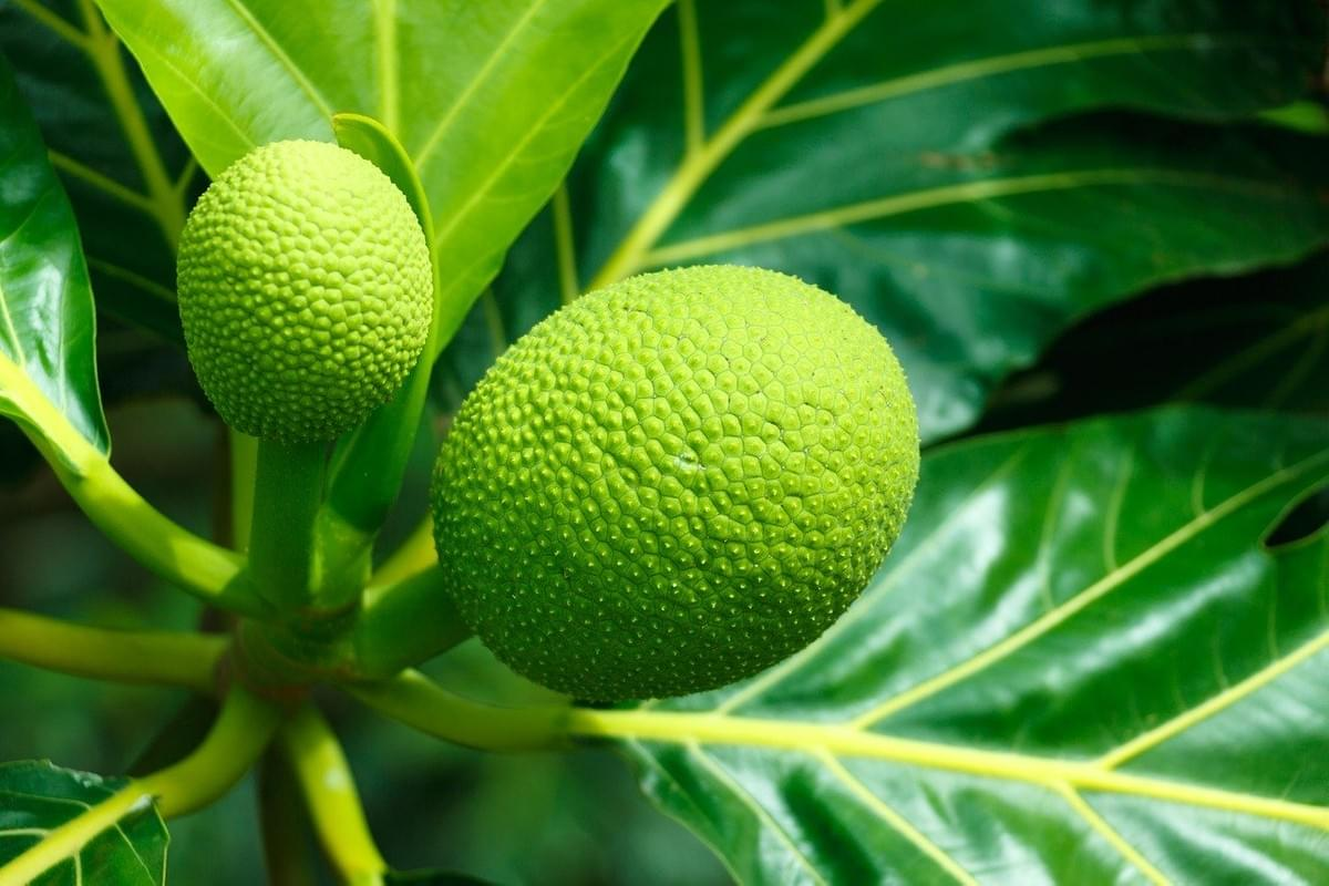 The saint lucia breadfruit is an exotic fruits and delicacy in the Caribbean.