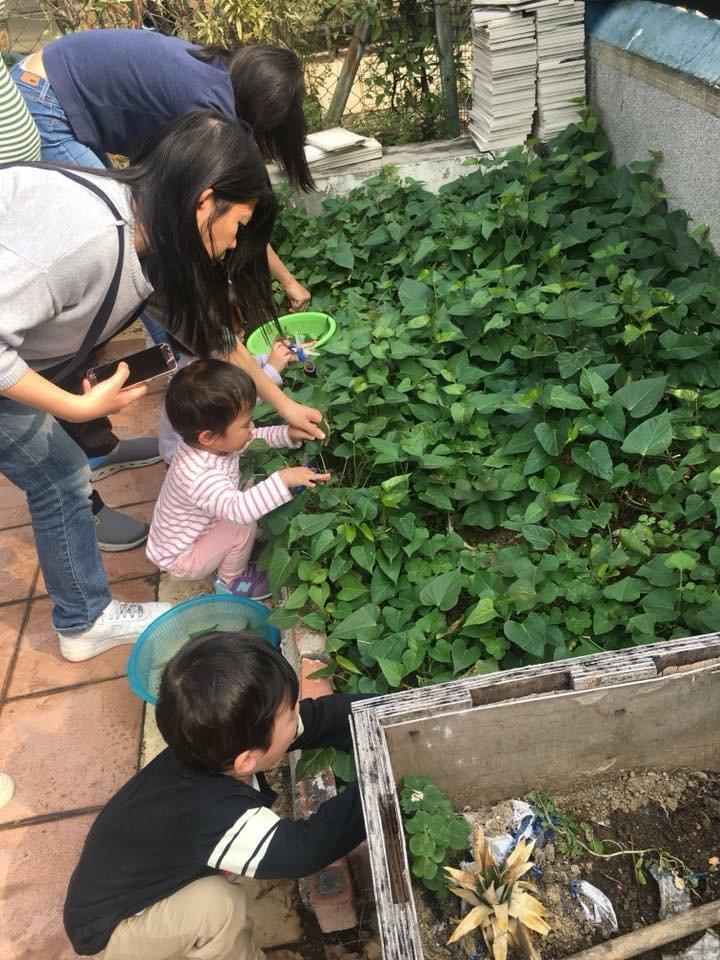 Our students are harvesting Sweet Potato Leaves to eat for lunch