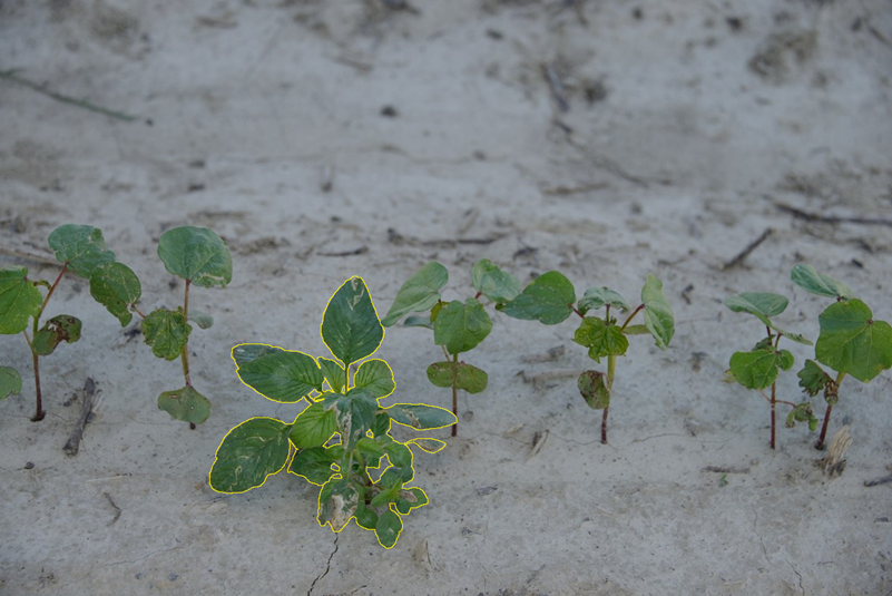 Identification of weeds vs cotton