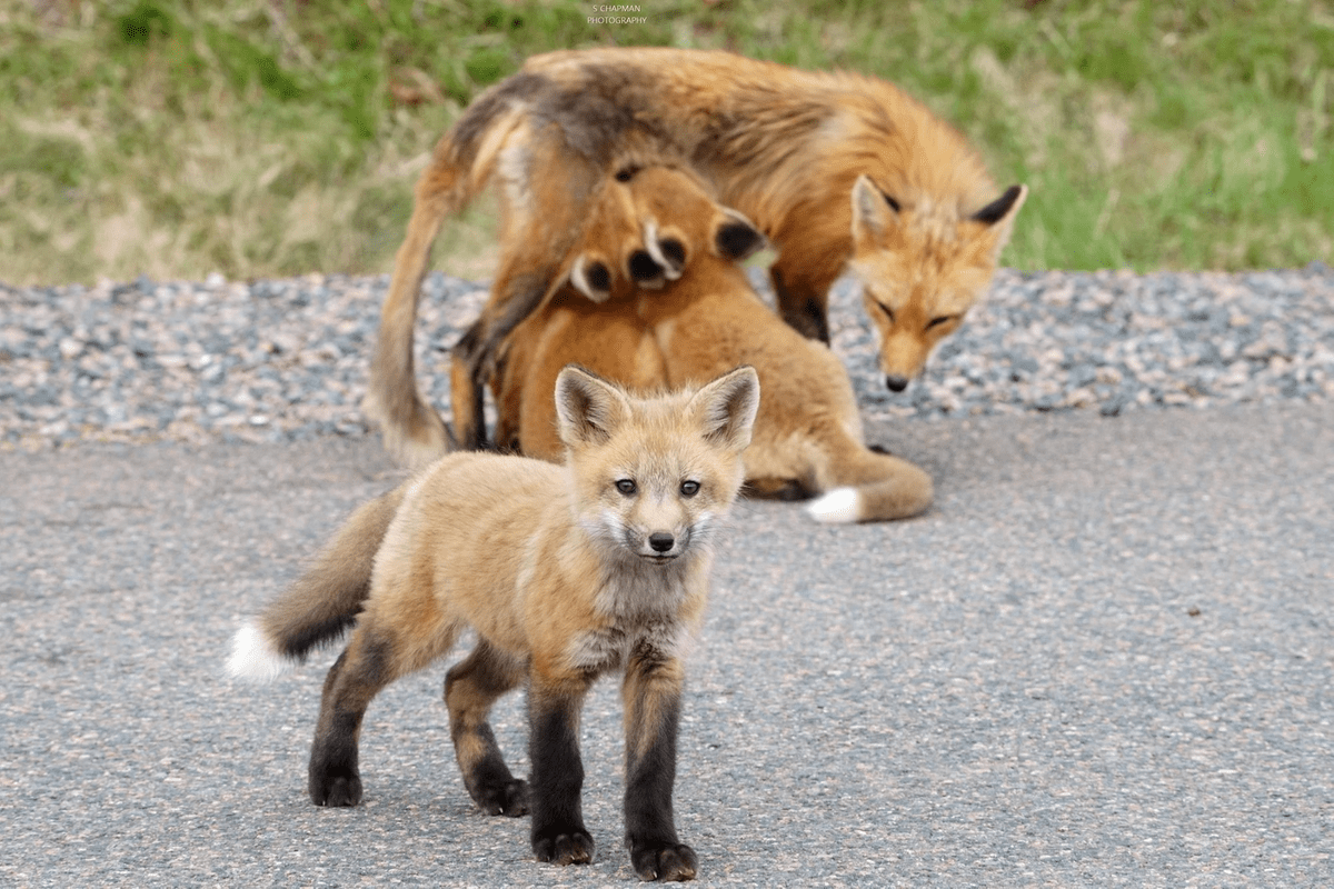 (Mother Fox and Kits on the road in Cumberland county, NS. Photo courtesy of Shawn Chapman. May 2020)