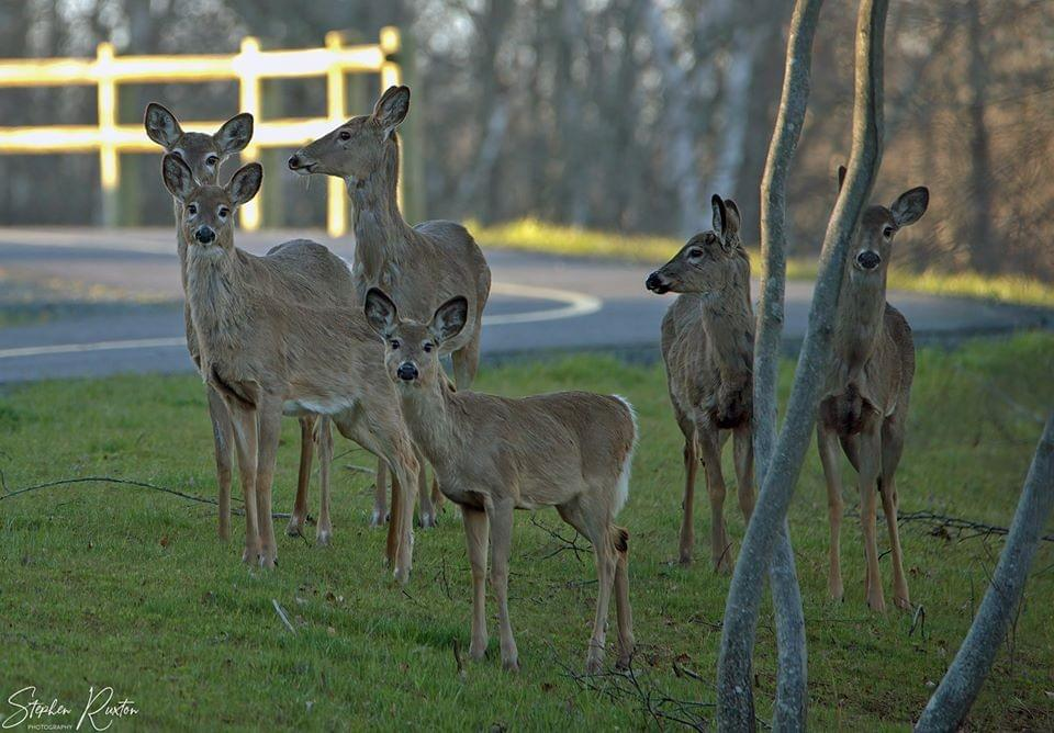 (Group of white-tailed deer by a road in Cole Harbour, NS. Photo courtesy of Stephen Ruxton. May 2020)