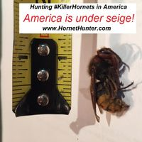 Asian Giant Killer Hornet in America