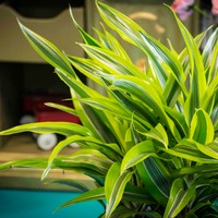 "Dracena 6"" $35.99 and up, 8"" $75.99 and up"