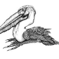 Pelican, Approximate.