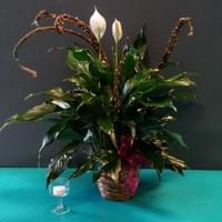"6"" Peace Lily $40 and up, 8"" Peace Lily $85.99 and up"