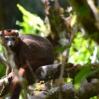 Crowned lemur- Ankarana National Park