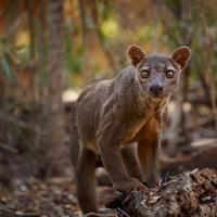 Fossa -Kirindy National park