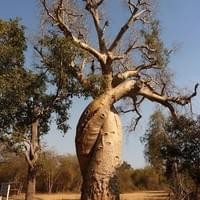 The Baobab in Love