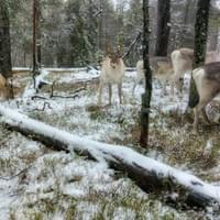 "A herd of reindeer is ""porotokka"" in Finnish"
