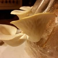 Oyster Mushrooms grown in a bag