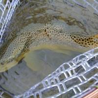 Smallfish nets  - Brown trout in Tenkara Flyfishing net