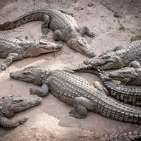 Crocodile farm Livingstone