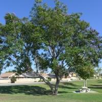 Jacaranda tree at Mary Henley Park Hemet CA