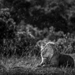 """Lion in the Rain"", Masai Mara National Park, Kenya"