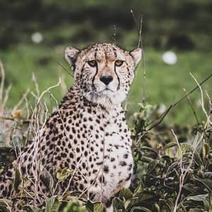 """Cheetah"", Serengeti National Park, Tanzania"