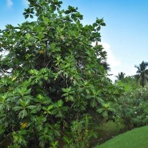 fruit-a-pain-local-plants-martinique