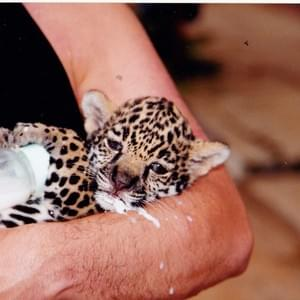 Feeding a baby Leopard in the Amazon Jungle